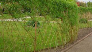 Распространенные сорта, применяемые для живой изгороди